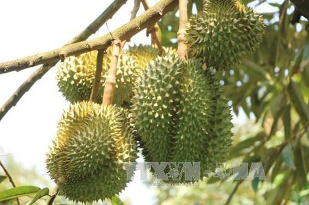 Malasia promueve cultivo de durian para responder a alta demanda de China hinh anh 1