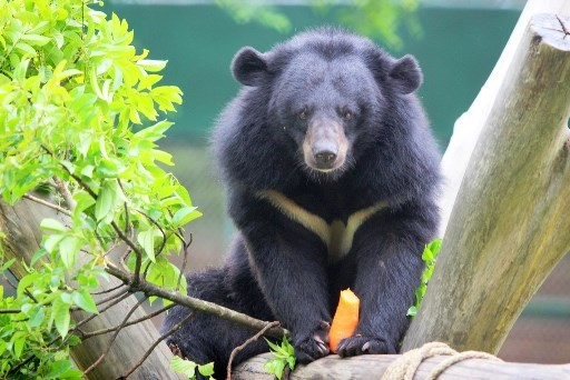 Cortometraje destaca los esfuerzos en curso de proteccion de osos en Vietnam hinh anh 1