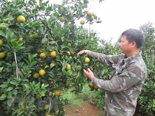 Naranjas de Cao Phong seran servidas en vuelos de Vietnam Airlines hinh anh 1