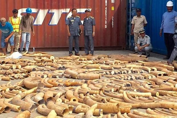 Camboya decomisa mayor cantidad de colmillos de elefantes hinh anh 1
