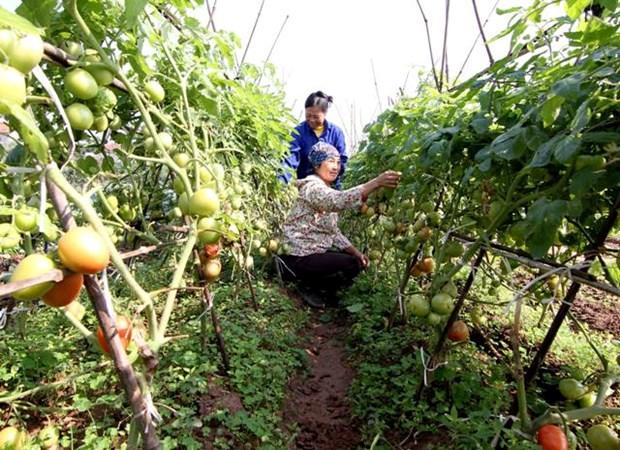 Paises Bajos mejora papel de la mujer en produccion y negocio en agricultura en Vietnam hinh anh 1