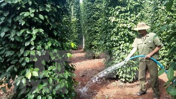 Exportacion de pimienta de Vietnam alcanzara unos 800 millones de dolares hinh anh 1