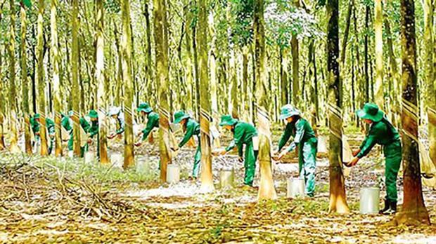 Vietnam cuenta con 235 hectareas de bosques certificados bajo el sello FSC de manejo sostenible hinh anh 1