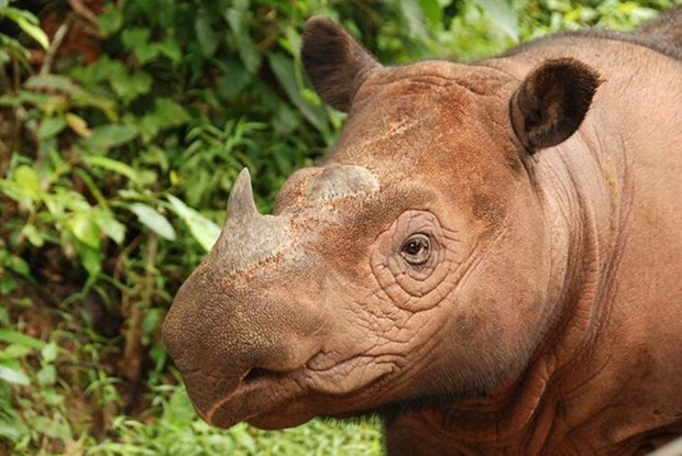 """Indonesia: Nuevo tsunami podria """"eliminar"""" totalidad de rinocerontes hinh anh 1"""