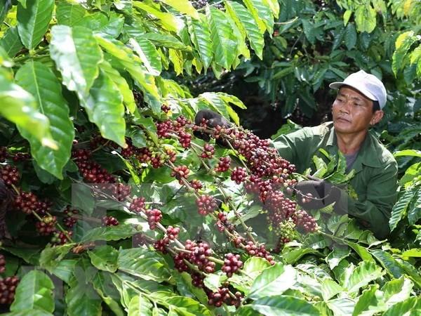 Vietnam ingreso tres mil 540 millones de dolares por exportaciones de cafe en 2018 hinh anh 1