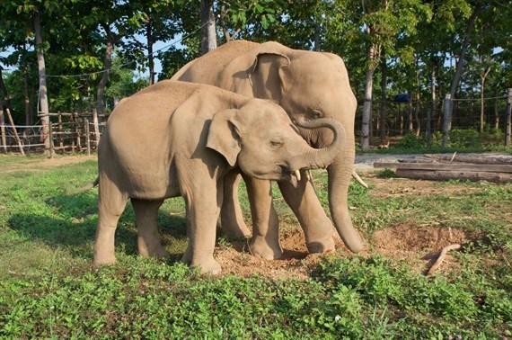 Animals Asia ofrecera 60 mil dolares a Vietnam para proteger a elefantes hinh anh 1
