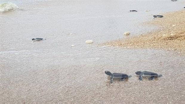 Trabaja Vietnam por conservar tortugas marinas en el Parque Nacional de Nui Chua hinh anh 1