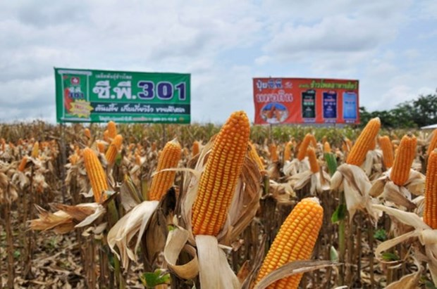 Mantiene Tailandia su lugar como mayor exportador de maiz dulce en el mundo hinh anh 1