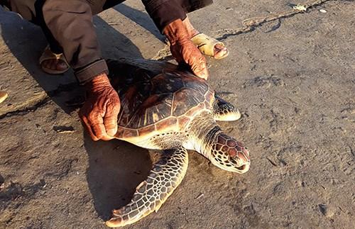 Restacan en Vietnam tortuga incluida en el Libro Rojo internacional hinh anh 1