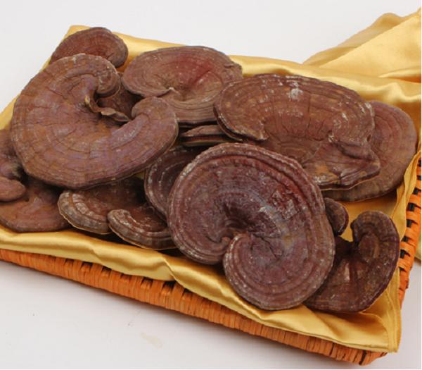 Desarrollan en Vietnam variedad de hongo Lingzhi Nong Lam hinh anh 1