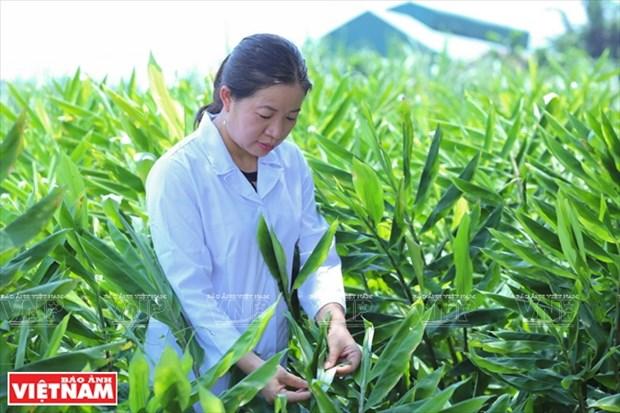 Cientifica vietnamita eleva el valor de las hierbas medicinales hinh anh 1