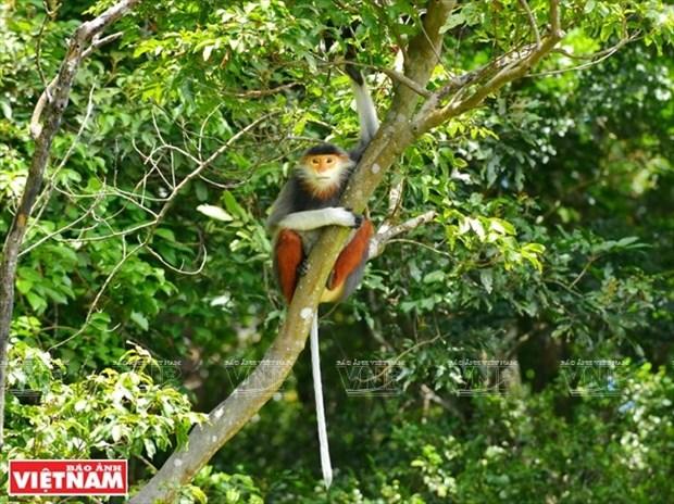 Peninsula de Son Tra, paraiso de los doucs de canillas rojas en Vietnam hinh anh 1