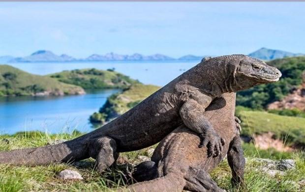 Reporta Indonesia avances en la preservacion del dragon de Komodo hinh anh 1