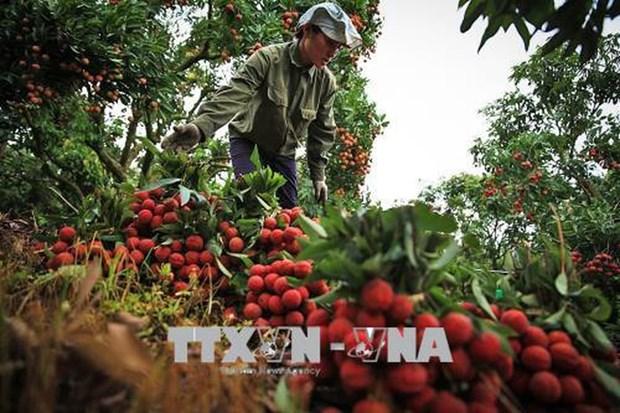 Cultivo de lichi genera ingreso estable para agricultores vietnamitas hinh anh 1