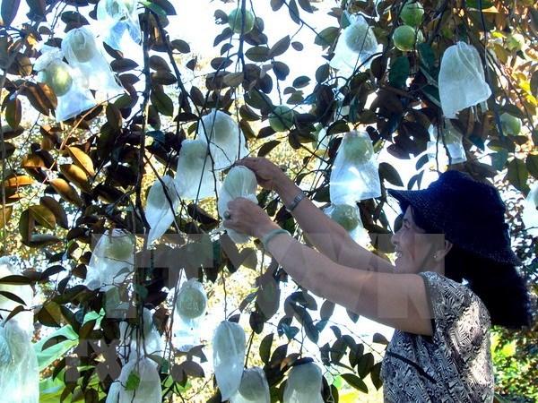Triplicaran exportaciones vietnamitas de caimito a Estados Unidos hinh anh 1