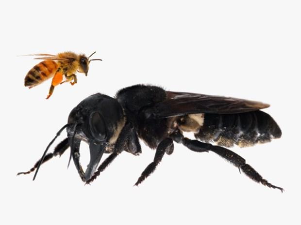 Reaparecen en Indonesia las abejas mas grandes del mundo hinh anh 1