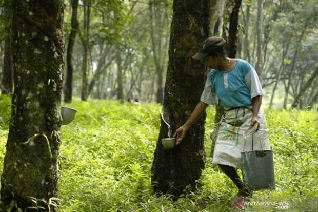 Acuerdan Tailandia, Indonesia y Malasia reducir exportaciones de caucho hinh anh 1