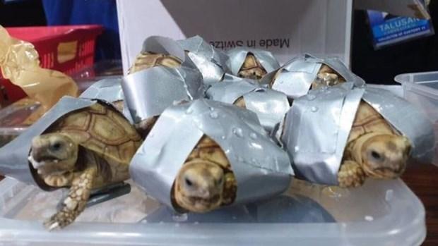Incautan en Filipinas mas de mil 500 tortugas abandonadas en equipaje hinh anh 1