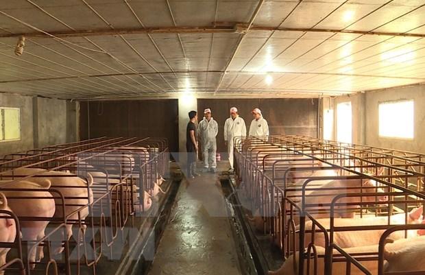 Registran epidemia de fiebre porcina en dos ciudades y cinco provincias vietnamitas hinh anh 1