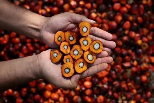 Preven produccion record de aceite de palma en el Sudeste Asiatico hinh anh 1