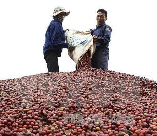 Impulsara Vietnam la produccion de cafe especializado hinh anh 1