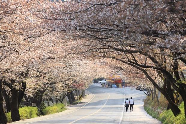 Promueve Corea del Sur programa de turismo de primavera en Vietnam hinh anh 1