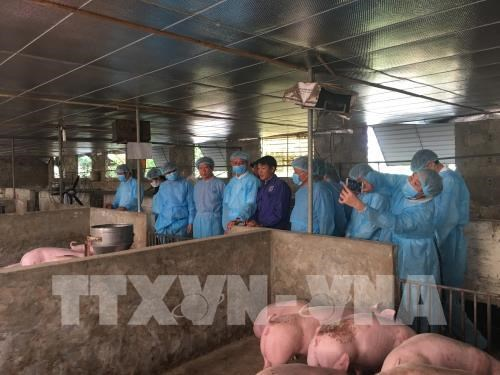 Refuerzan en provincia vietnamita medidas contra epidemia de peste porcina africana hinh anh 1