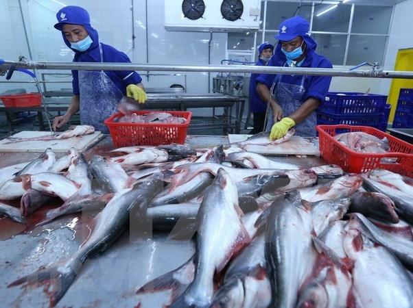 Aspira Vietnam a ingresar dos mil 400 millones de dolares por exportaciones del pescado Tra hinh anh 1