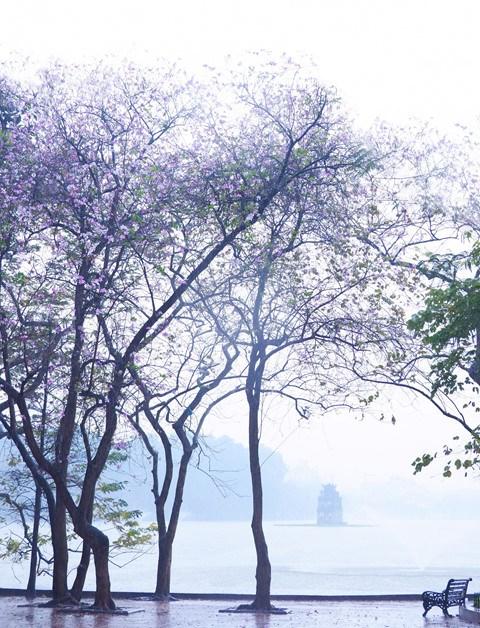 Flores de bauhinia adornan las calles de Hanoi hinh anh 1