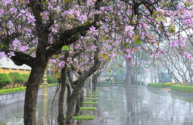 Flores de bauhinia adornan las calles de Hanoi hinh anh 4