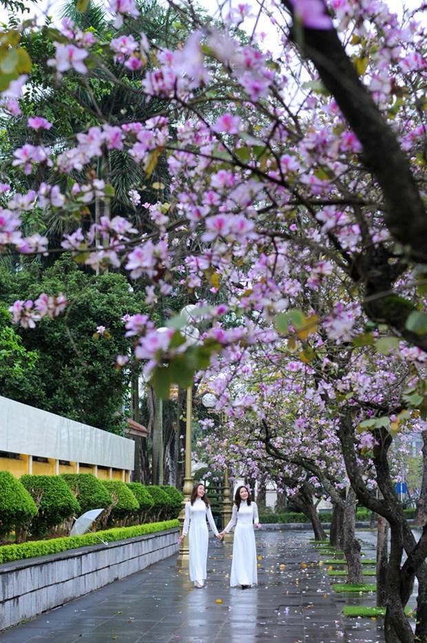 Flores de bauhinia adornan las calles de Hanoi hinh anh 2
