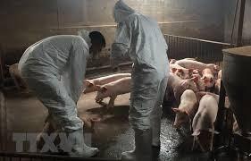 Establece Vietnam Direccion Nacional de Prevencion contra la Peste Porcina Africana hinh anh 1