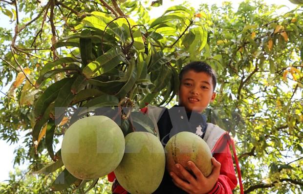 Aumenta Vietnam sus exportaciones de mangos hinh anh 1