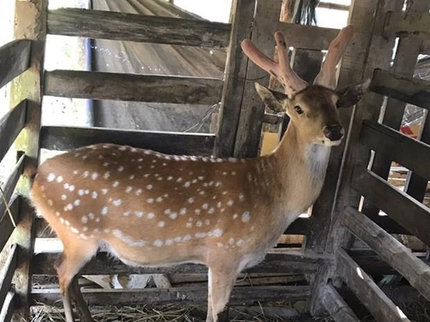 Reconoce Vietnam la indicacion geografica al asta de ciervo de Huong Son hinh anh 1