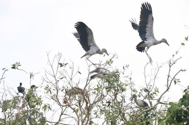 Intensifican en Vietnam proteccion de picotenazas asiaticos, ave en peligro de extincion hinh anh 1