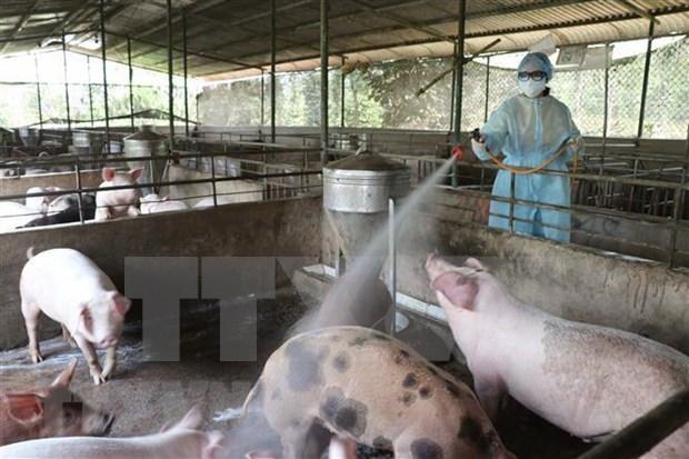 Instan a prevenir contagio de peste porcina africana en el sur de Vietnam hinh anh 1