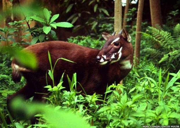 Impulsan en Vietnam conservacion del antilope Saola hinh anh 1
