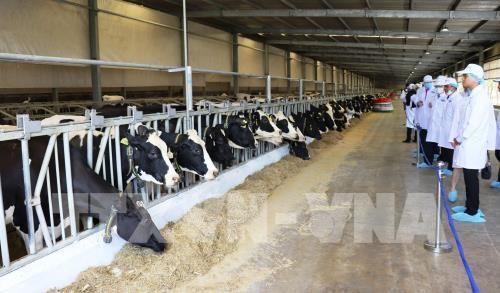 Inauguran la granja lechera mas grande de Vietnam hinh anh 1