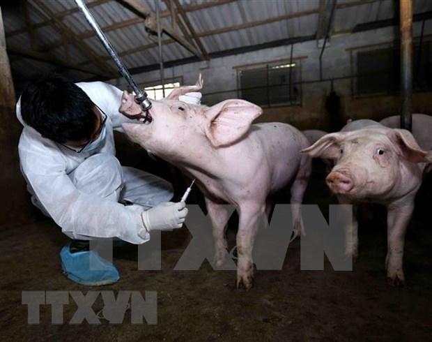 Provincia vietnamita de Ba Ria-Vung Tau aplica medidas preventivas para controlar la fiebre aftosa hinh anh 1