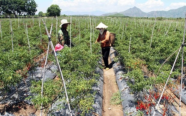 Cultivan chile etnias minoritarias de Vietnam para aumentar ingresos hinh anh 1