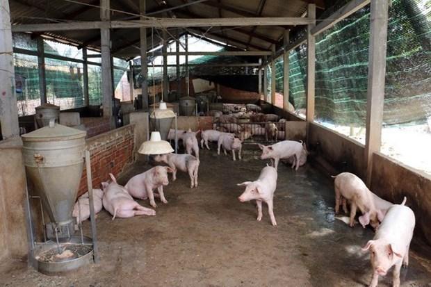 Detectan primer brote de fiebre porcina en Noreste de Camboya hinh anh 1
