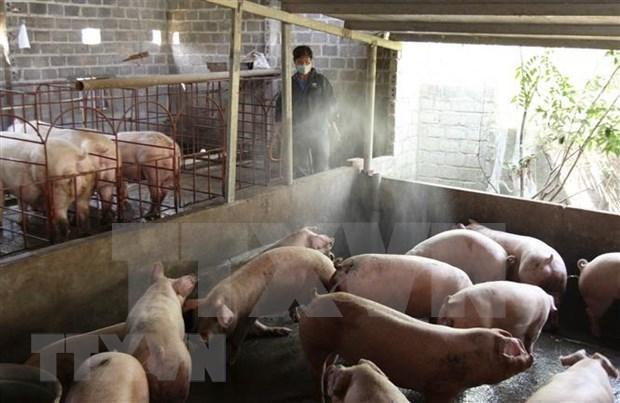 Detectan en Vietnam nuevos brotes de peste porcina africana hinh anh 1