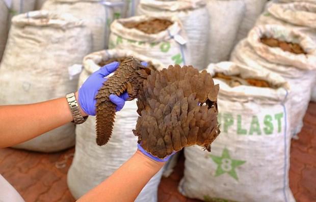 Incautan en Singapur 13 toneladas de escamas de pangolin hinh anh 1