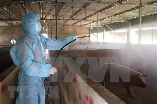 Vietnam capaz de producir una vacuna contra peste porcina africana hinh anh 1