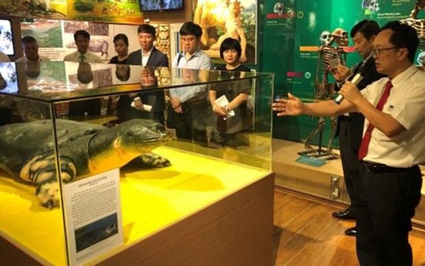 Exhiben en Vietnam copia de la tortuga sagrada del lago Hoan Kiem hinh anh 1
