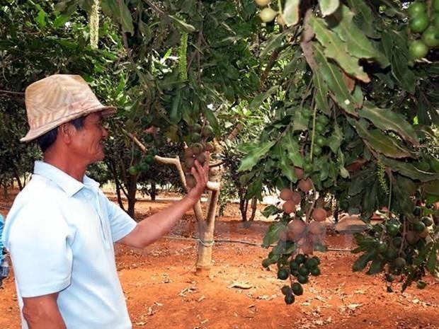 Exporta provincia vietnamita de Lam Dong macadamia a Corea del Sur y Singapur hinh anh 1