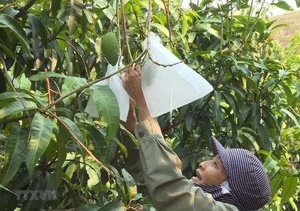 Exportara provincia vietnamita de An Giang mangos a EE.UU. hinh anh 1