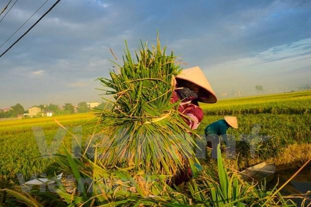 Califican a China como un exigente mercado potencial para el arroz vietnamita hinh anh 1