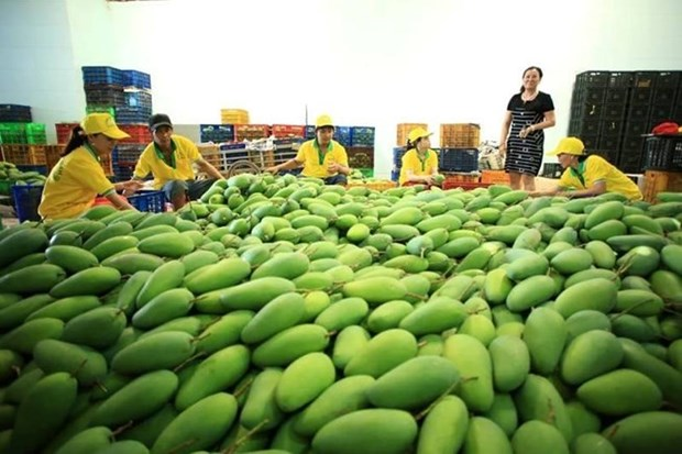 Exporto empresa vietnamita 71 toneladas de mango a Estados Unidos hinh anh 1