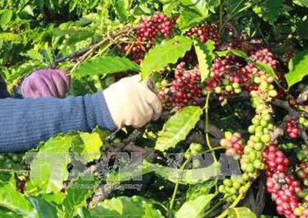 Experimentan en Vietnam sistema de datos codificados de plantacion cafetera hinh anh 1